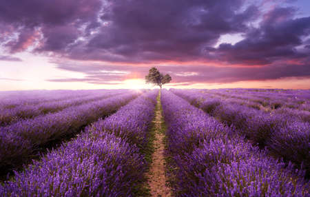 Rows of purple lavender in a field on a summers evening as the sun sets. UK, photo composite Zdjęcie Seryjne