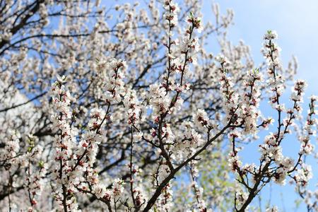 apricot tree: flowers apricot tree photo Stock Photo