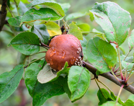 Bad brown rotten apple hanging on a tree. Photo nature.