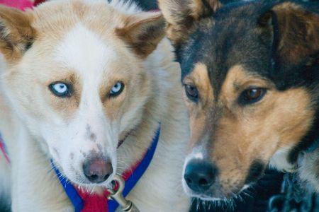 mushing: Alaskan Husky Sled Dogs