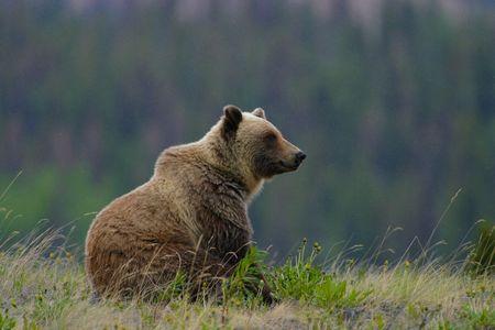 Grizzly Sitting on Dandelions near Haines Alaska