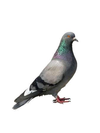 incline: Pigeon. One grey pigeon
