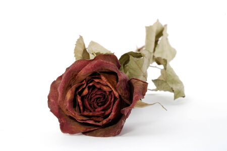 One dried up beautiful red rose isolated on the white photo