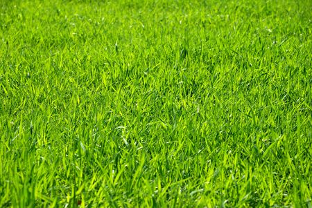 Back illumination of a grass by the sun through photo