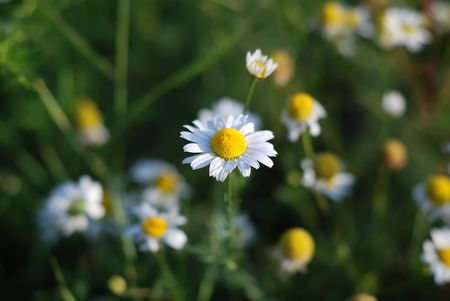 Closeup of camomile on a meadow Stock Photo - 5244638