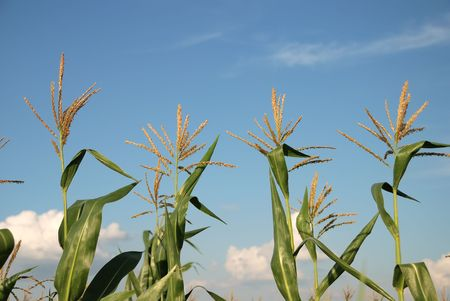 Young vegetation on a corn field against the sky Stock Photo - 5303975