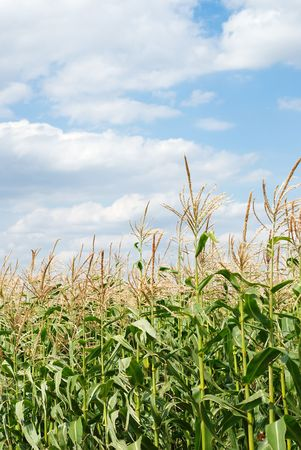 Young vegetation on a corn field against the sky Stock Photo - 5378870