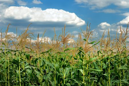 Young vegetation on a corn field against the sky Stock Photo - 5496555