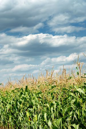 Young vegetation on a corn field against the dark sky Stock Photo - 5589679