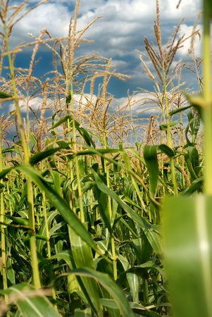 Young vegetation on a corn field against the dark sky Stock Photo - 5727500