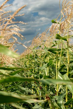 Young vegetation on a corn field against the dark sky Stock Photo - 5772411