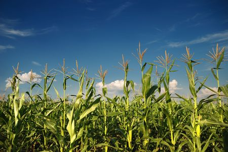 crop  stalks: Young vegetation on a corn field against the sky