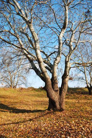Autumn landscape. Single tree in autumn wood. photo