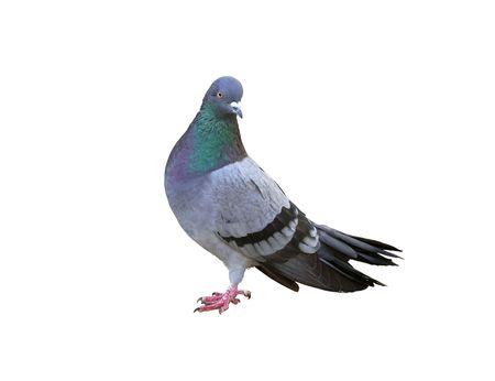 pigeons: Un pigeon gris isol� sur fond blanc