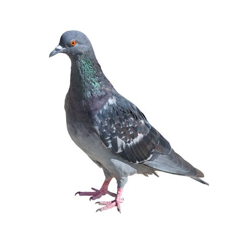 One grey pigeon isolated on white background photo