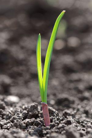 cosecha de trigo: Foto de detalle de la joven brotes verdes