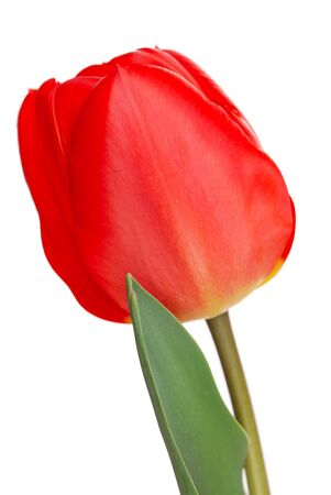 One red tulip isolated on white Stock Photo - 6754086