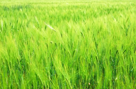 Background from young vegetation corn field photo