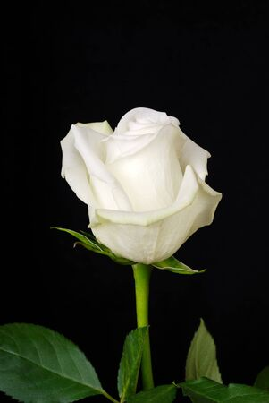 black and white plant: The white rose isolated on black background
