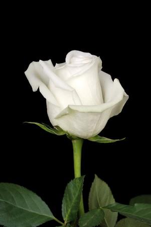 rosas negras: El blanco rosado aislado sobre fondo negro  Foto de archivo