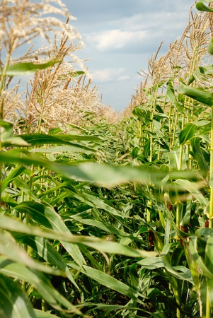 Young vegetation on a corn field against the sky Stock Photo - 8263419