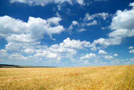 Wheaten field and the dark sky Stock Photo - 8356851