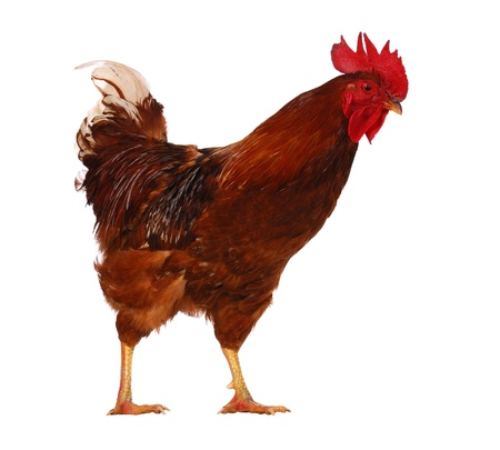 animal farm: One live rooster isolated on white background