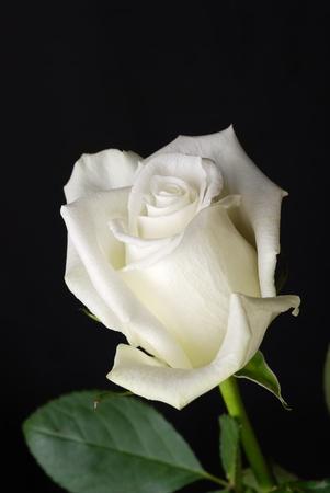rose bud: Il bianco rosa isolato su sfondo nero Archivio Fotografico