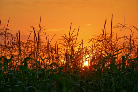 photo of sunset in cornfield Banque d'images