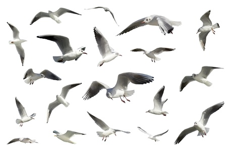 a set of white flying birds isolated. gulls photo