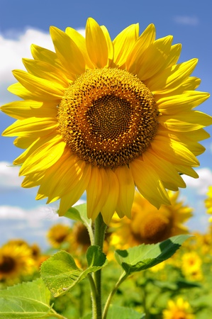 portrait of a sunflower in the field photo