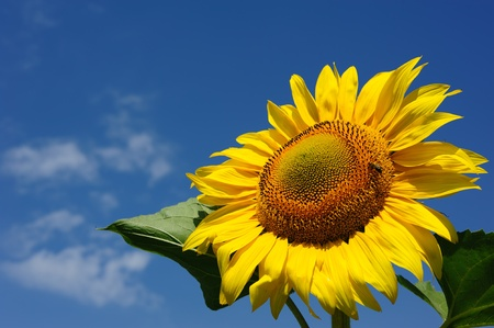 big sunflowers and bees against the sky