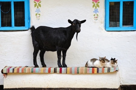 Rural scene. Goat and a cat on the bench. Farmhouse. photo