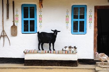 Rural life scene. Goat and a cat on the bench. Farmhouse. photo