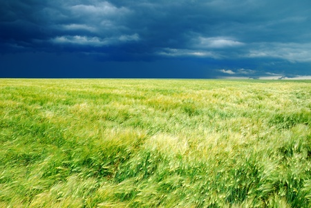 wheat field and dark stormy sky photo
