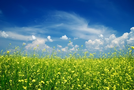 Yellow flower field in summer with blue sky photo