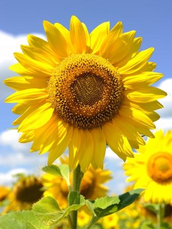 semillas de girasol: un girasol grande y el cielo Foto de archivo