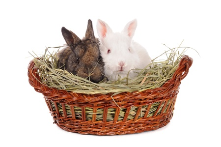 white and grey baby rabbit isolated Stock Photo - 12333125