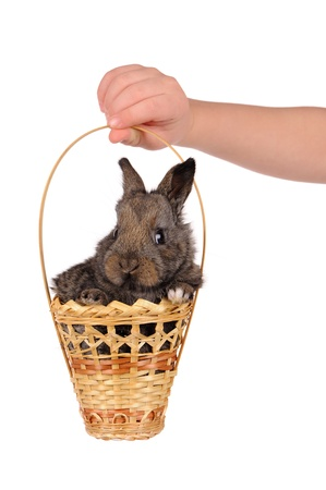 grey baby rabbit and child hand isolated photo