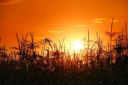 planta de maiz: foto de la puesta de sol en el campo de maíz