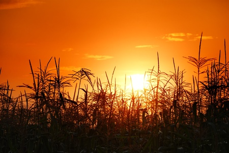 maize cultivation: photo of sunset in cornfield Stock Photo