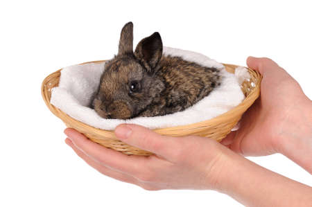 grey baby rabbit in a basket isolated photo