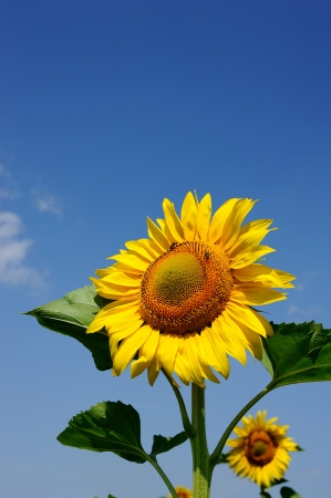 one big sunflower against blue sky 스톡 콘텐츠