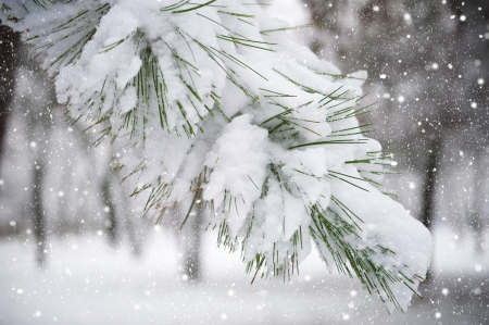 fir tree branch with snow photo