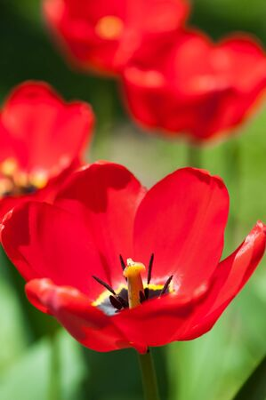 red tulips in sunlight Stock Photo - 16904185