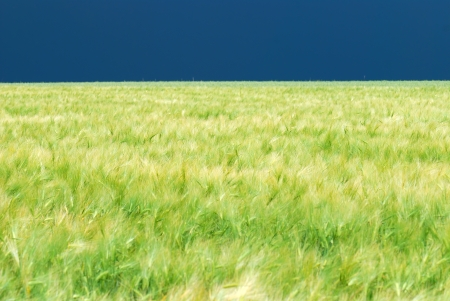 Green wheaten field as a background photo