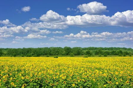 summer landscape. sunflower field and cloudy sky photo