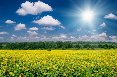 sunny summer landscape. sunflower field and sky. photo