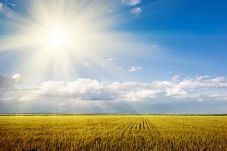rayos de sol: paisaje de verano brillante. campo de trigo y cielo