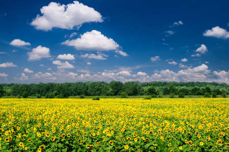 bright summer landscape. sunflower field and sky. photo